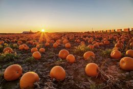 at_a_pumpkin_patch